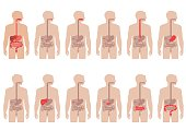 human anatomy digestive system, stomach vector illustration