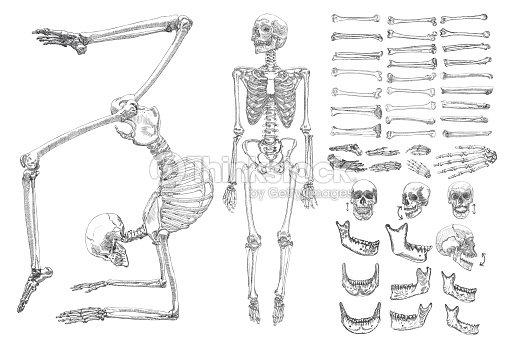 Menschliche Anatomie Monochrome Zeichnungssatz Mit Skeletten Und ...