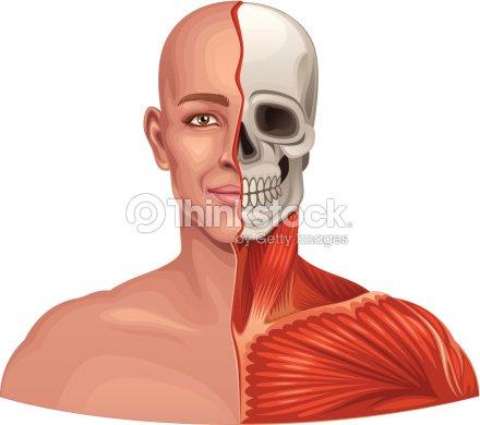 Human Anatomy Facial Muscles And Skull Vector Art   Thinkstock