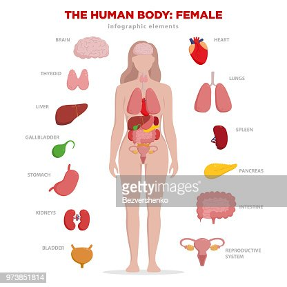 Human anatomy infographic elements with set of internal organs isolated on white background and placed in female body. Woman reproductive organs with girl silhouette and icons around. : stock vector