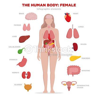 Menschliche Anatomie Infografik Elemente Mit Der Inneren Organe ...