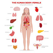 Human anatomy infographic elements with set of internal organs isolated on white background and placed in female body. Woman reproductive organs with girl silhouette and icons around