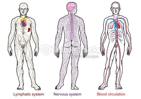 Anatomía Humana Nervioso Sangre Y Del Sistema Linfático Arte ...