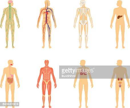 Human anatomy. Set of vector illustration isolated on white background. Human body structure: skeleton and circulatory vascular system. : stock vector