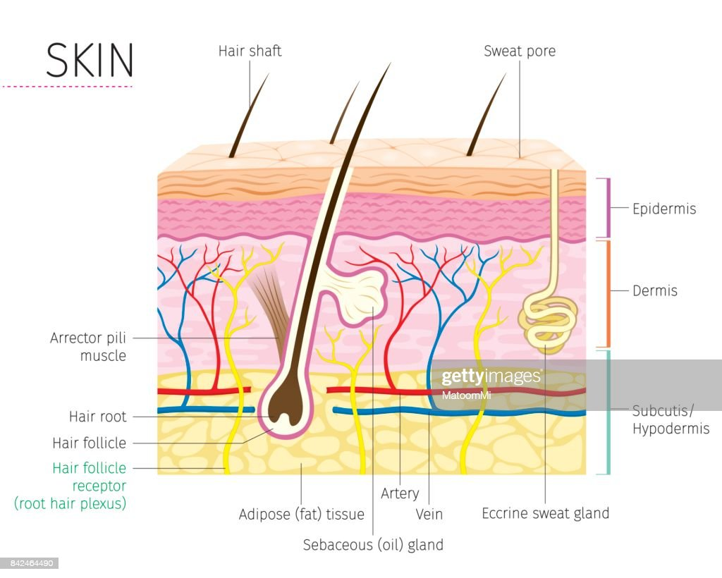 Hair Follicle Diagram Blank - Library Of Wiring Diagram •