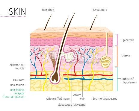 Anatomía Humana Piel Y Cabello Diagrama Arte vectorial   Thinkstock