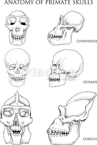 Humanos Y El Chimpancé El Gorila Ilustración De Anatomía Y Biología ...