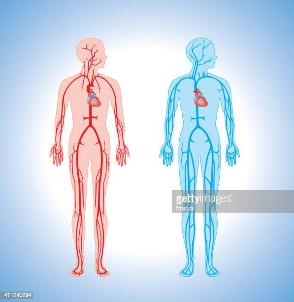 Cardiovascular System Stock Illustrations and Cartoons
