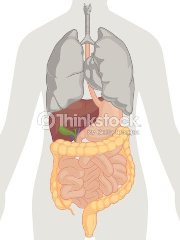 Human Body Anatomy Digestive System Vector Art Thinkstock
