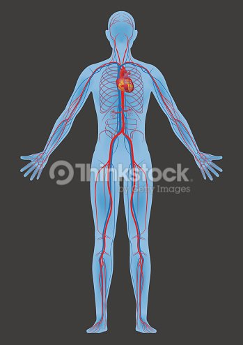 Human body and circulatory system vector diagram vector art thinkstock human body and circulatory system vector diagram vector art ccuart Gallery