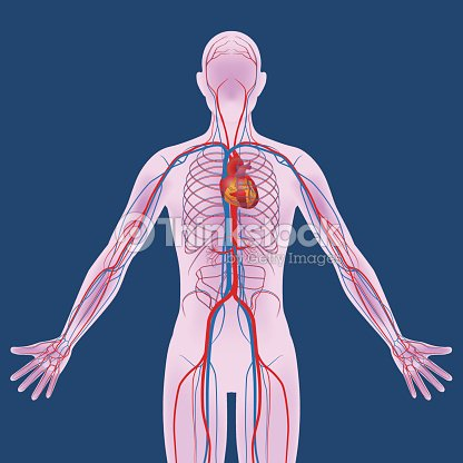 Human body and circulatory system vector diagram arte vetorial human body and circulatory system vector diagram arte vetorial ccuart Gallery