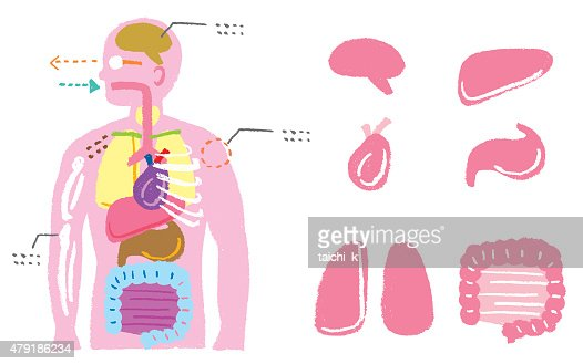 human body diagram vector art | getty images, Human Body