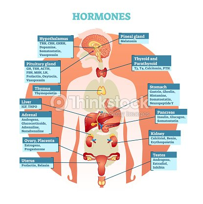 Human body hormones vector illustration diagram human organ human body hormones vector illustration diagram human organ collection vector art ccuart Choice Image