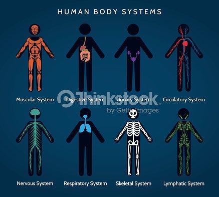 Menschlichen Körper Anatomie System Vektorgrafik | Thinkstock