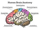 Human brain anatomy diagram. Sections of head brain vector illustration