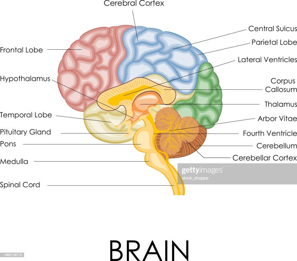 In Depth Brain Diagrams - DIY Wiring Diagrams •