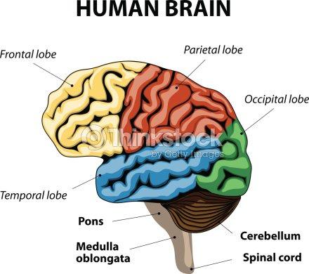 Menschliche Gehirn Anatomie Vektorgrafik | Thinkstock