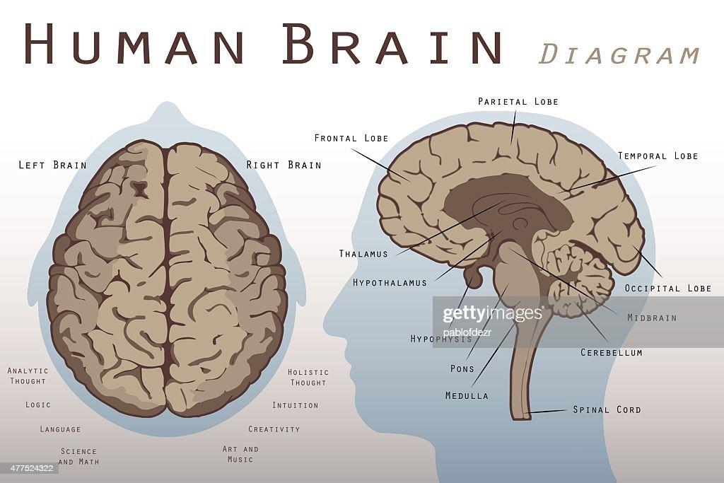 Brain Midsection Diagram - DIY Enthusiasts Wiring Diagrams •
