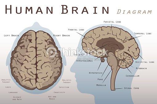 Human Brain Diagram Vector Art Thinkstock