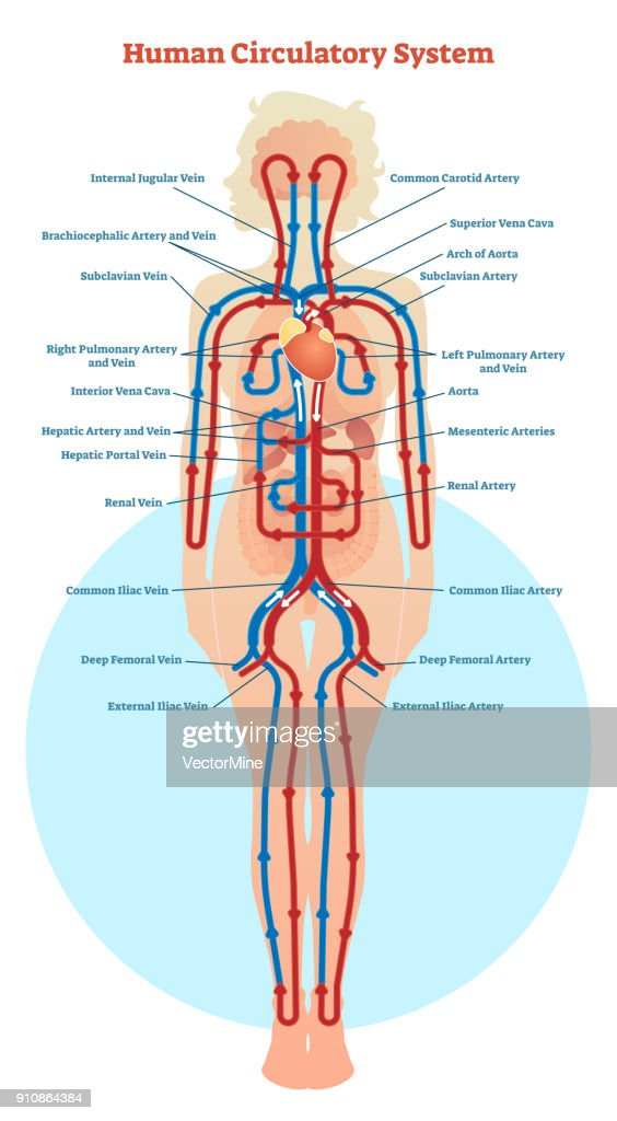Diagram Of The Human Circulatory System Wiring Diagram Services