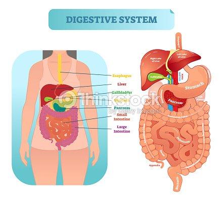 Human digestive system anatomical vector illustration diagram with human digestive system anatomical vector illustration diagram with inner organs arte vetorial ccuart Images