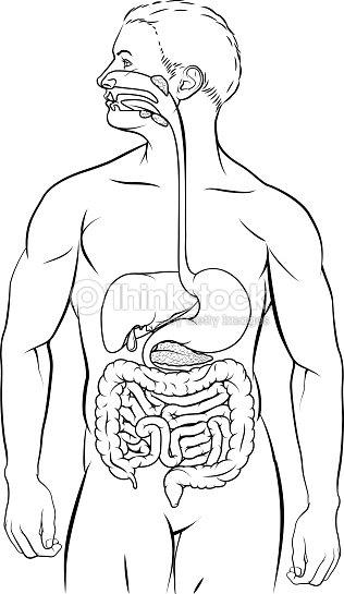 Human Digestive System Vector Art Thinkstock