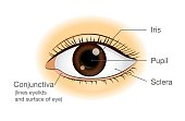 Human eye anatomy in front view. Illustration about physical.