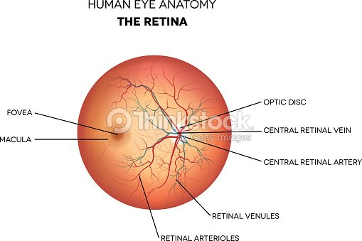 Anatomía Del Ojo Humano Retina Arte vectorial | Thinkstock