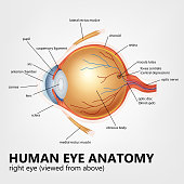 Vector Illustration Of  Human eye anatomy, right eye viewed from above