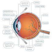 A beautiful illustration of human eye anatomy vector design