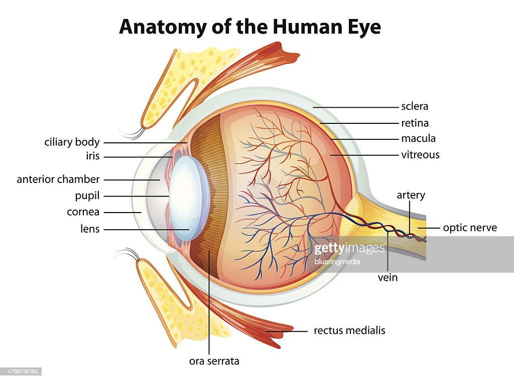Retina Eye Diagram Label - Complete Wiring Diagrams •