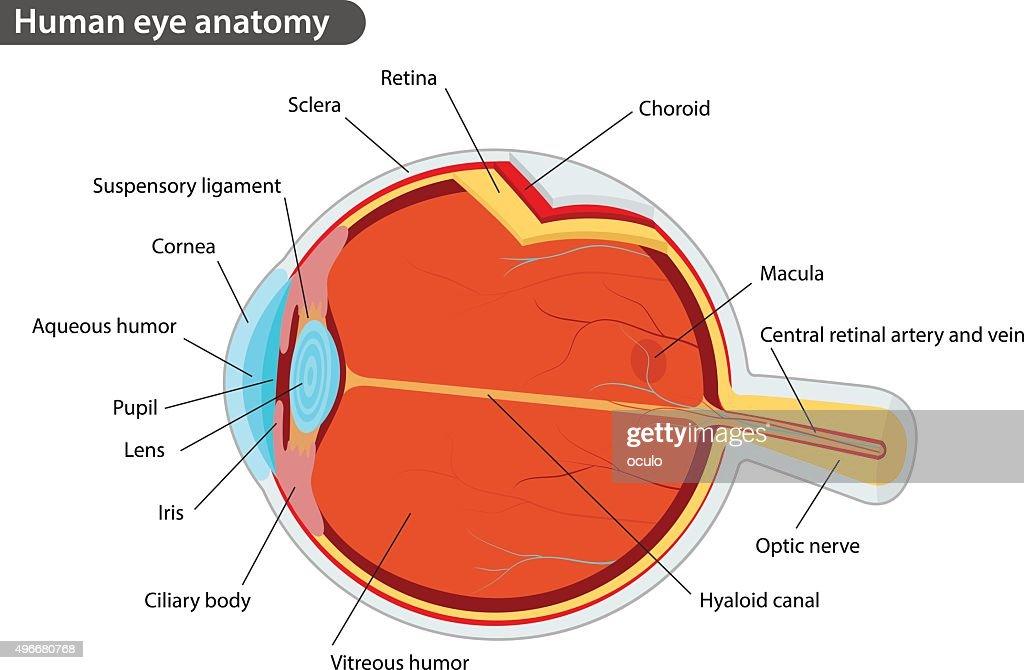 49 Human Eye Anatomy Diagram Schematics Wiring Diagrams