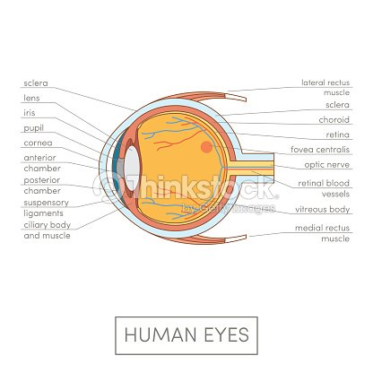 Anatomía De Ojo Humano Arte vectorial | Thinkstock