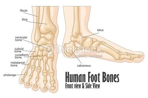 Human Foot Bones Front And Side View Anatomy Vector Art Thinkstock