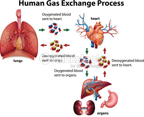 Human gas exchange process diagram vector art thinkstock human gas exchange process diagram vector art ccuart Image collections