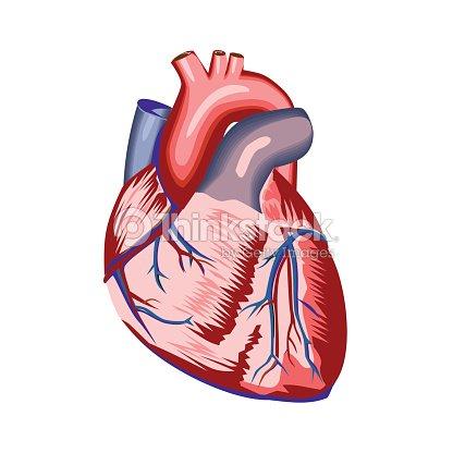 Human heart anatomy vector art thinkstock human heart anatomy vector art ccuart Image collections