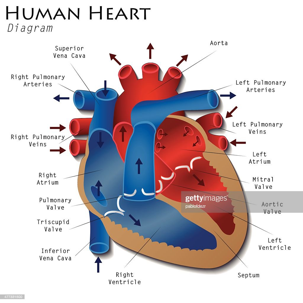 Human heart diagram answers pdf circuit connection diagram human heart diagram art explore schematic wiring diagram u2022 rh webwiringdiagram today sheep heart diagram sheep heart diagram ccuart Images