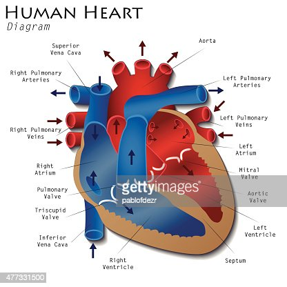 human heart diagram vector art | thinkstock, Muscles