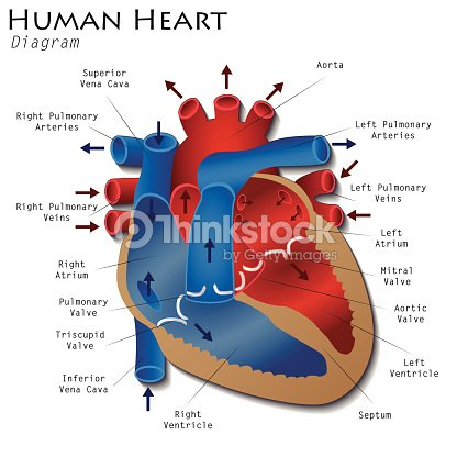human heart stock photos and illustrations - royalty-free images, Muscles
