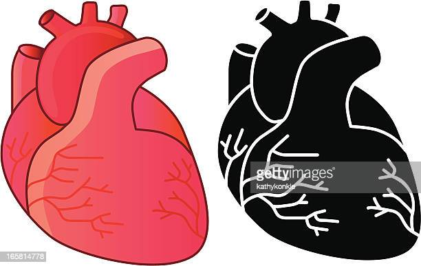 human heart vector art and graphics | getty images, Human body
