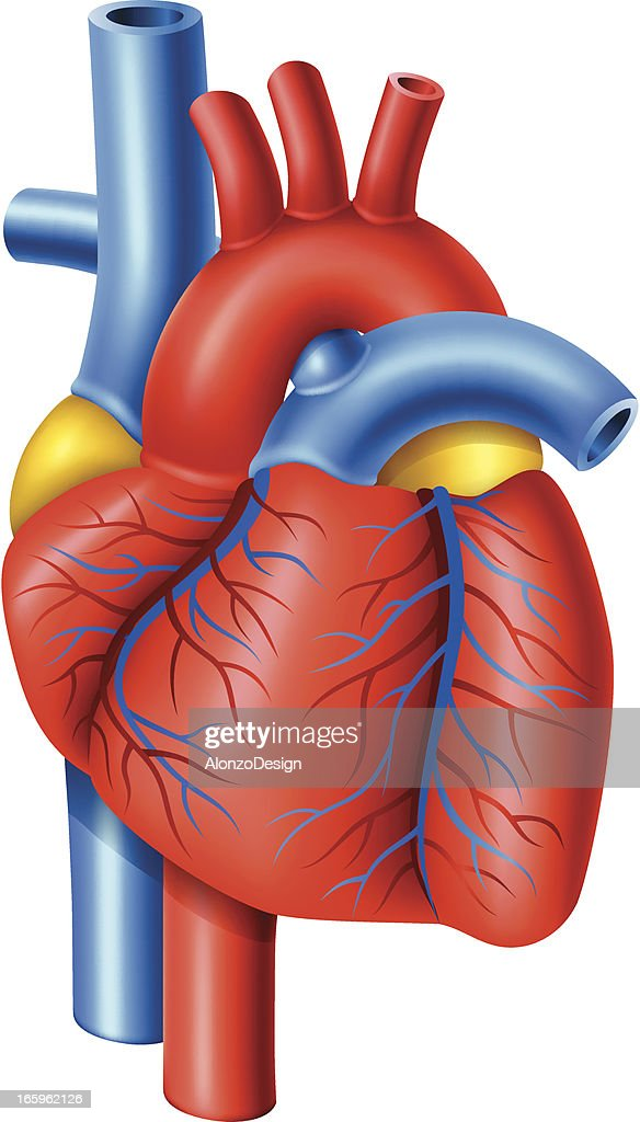 clipart of a human heart - photo #34