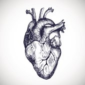 Human heart. Vector illustration.