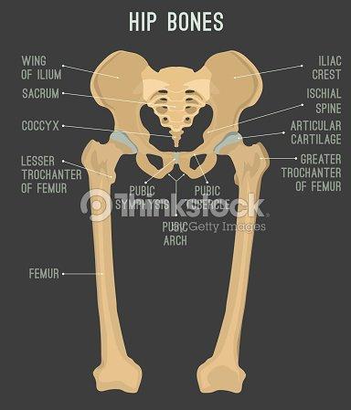 Human hip bones arte vetorial thinkstock human hip bones arte vetorial ccuart Choice Image