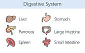 Human Internal organ about digestive system. Illustration about health and medical.