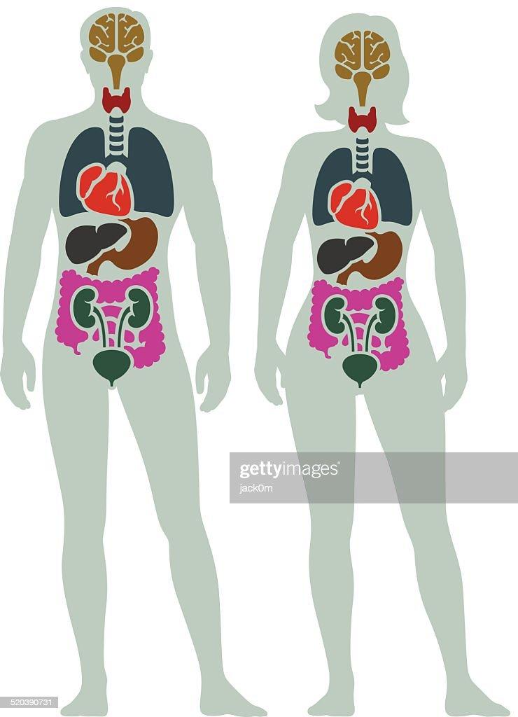 human internal organ diagram vector art getty images. Black Bedroom Furniture Sets. Home Design Ideas