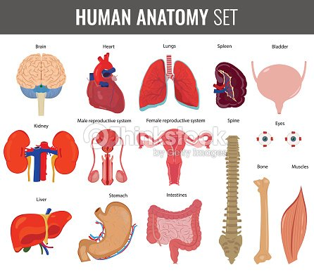 Human Internal Organs Anatomy Set Vector Icons Vector Art   Thinkstock