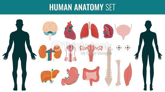 Human Internal Organs Anatomy Set Vector Vector Art   Thinkstock