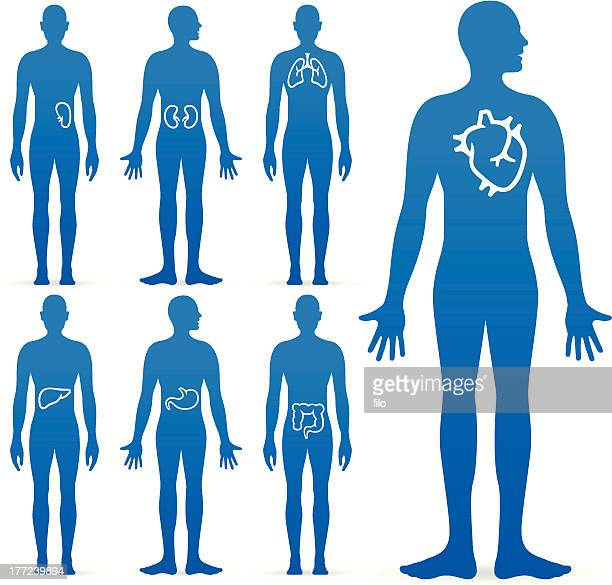 Organi interno dell'uomo