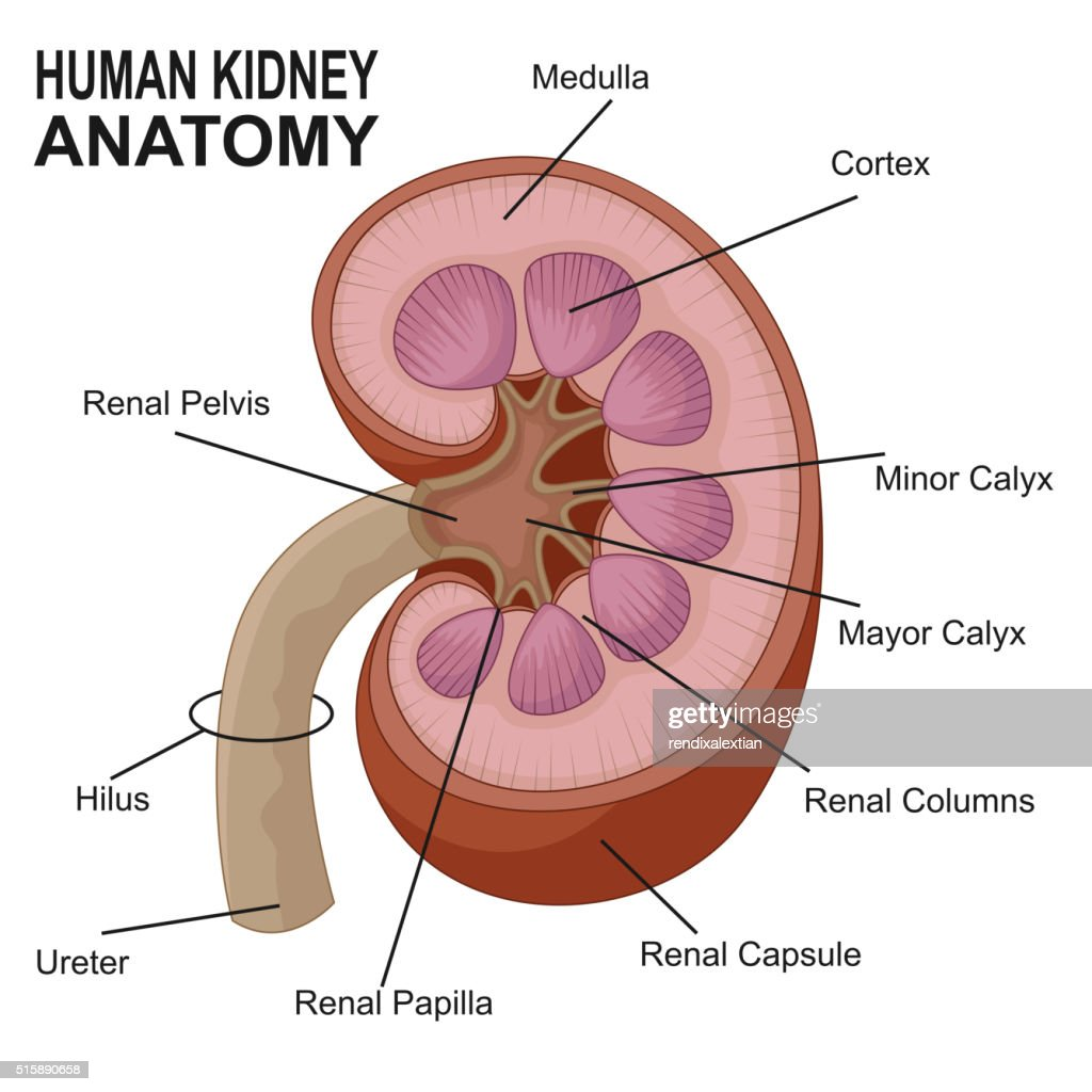 Section Anatomy Diagram Kidney - Electrical Work Wiring Diagram •