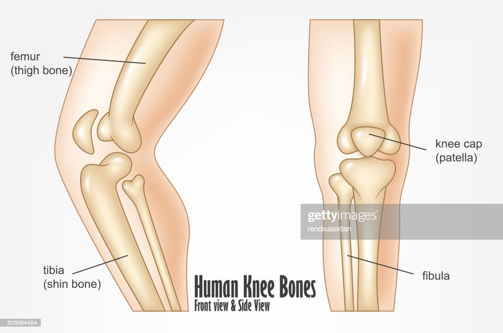 Human Leg Diagram Side View Wiring Diagram Services